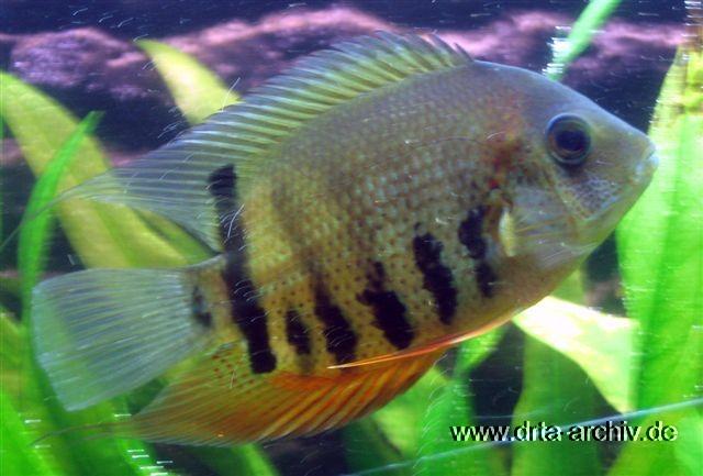 Fische zierfische und aquarienfische in einer bersicht for Aquarium fische arten