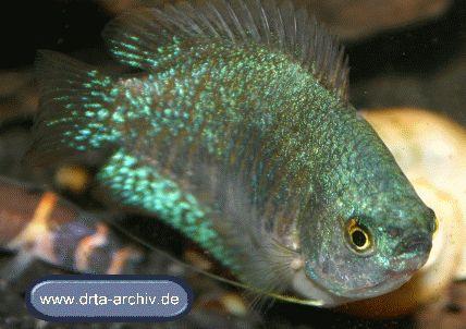 Fische zwergfadenfische aufzucht von zwergfadenfischen for Fadenfische zucht