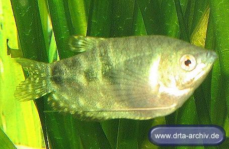 Fische fadenfische blaue fadenfische alle details und for Fadenfische zucht