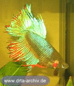 Betta splendens Kampffische