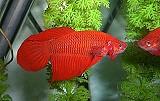 Kampffisch rot