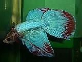 Kampffisch blau