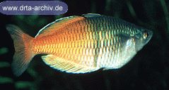 Bösemans Regenbogenfische