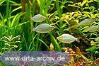 Diamant Regenbogenfische Schwarm