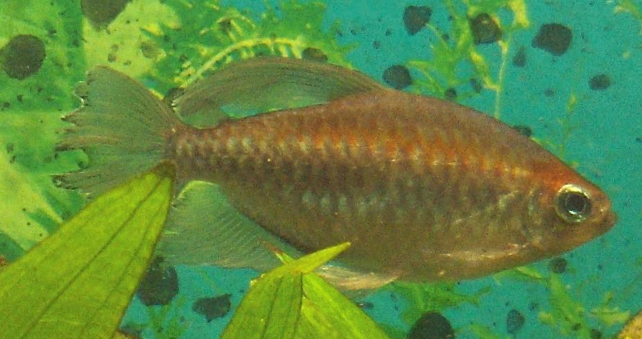 Fische salmler blauer kongosalmler das blaue highlight for Fadenfische zucht
