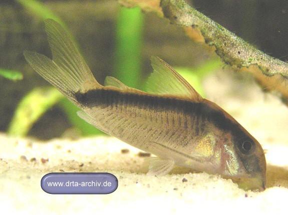 Fische panzerwelse arten corydorasarcuatus aquarium for Fische arten
