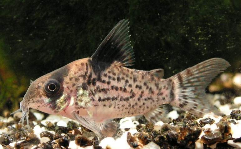 Fische panzerwelse arten corydorasmelanistius aquarium for Aquarium fische arten