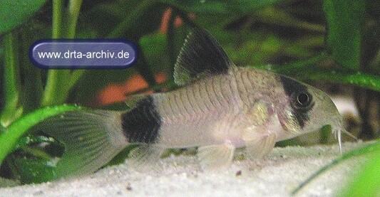 Fische panzerwelse arten corydoraspanda aquarium ratgeber for Fische arten