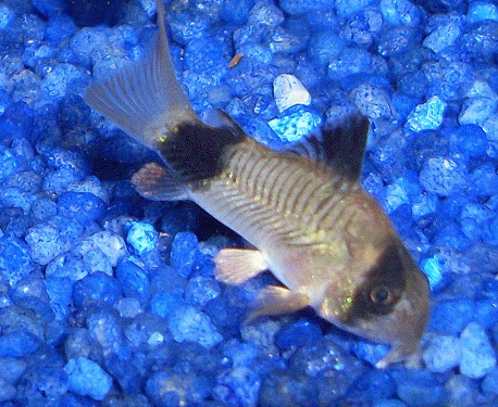 Fische panzerwelse arten corydoraspanda aquarium ratgeber for Aquarium fische arten