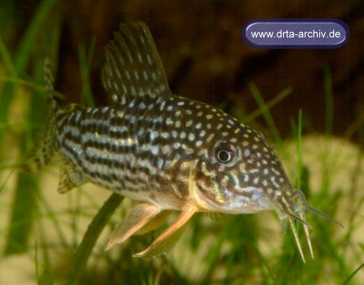 Fische panzerwelse arten corydorassterbai aquarium for Fische arten