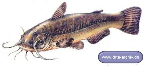 Fische welse katzenwels alle details und infos for Fadenfische zucht