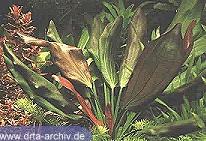 Rötliche Schwertpflanze