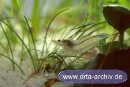 Rückenstrichgarnele Neocaridina heteropoda