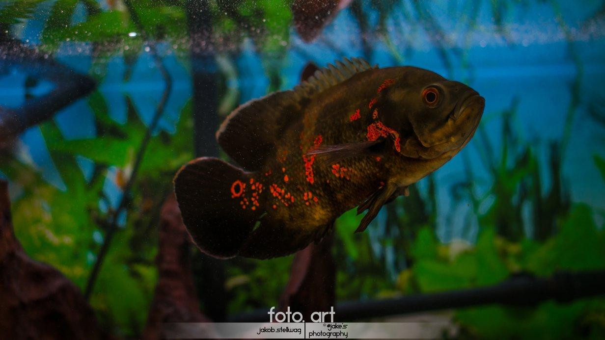 Fische buntbarsche amerika pfauenaugenbuntbarsche for Fadenfische zucht