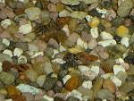 corydoraspaleatus07 tn