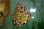Diskus Fisch