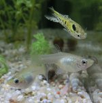 Tiger Endler Guppies