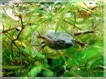 Zwergkrallenfrosch Weibchen