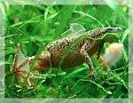 Zwergkrallenfrosch bei der Häutung