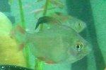 Schucksalmler, Hyphessobrycon bentosi