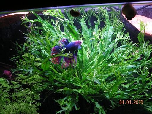 Pflanzen hintergrundpflanzen aquarium ratgeber for Kampffisch becken