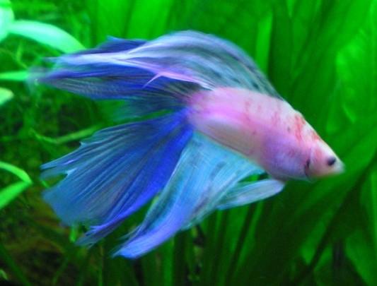 Allgemeines urlaub aquarium ratgeber for Kampffisch futter