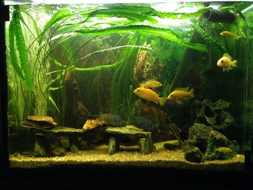 fische buntbarsche afrika afrikanische malawibuntbarsche haltung und pflege aquarium ratgeber. Black Bedroom Furniture Sets. Home Design Ideas