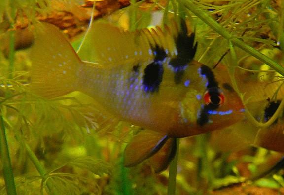 Fische schmetterlingsbuntbarsche aufzucht und zucht von for Fadenfische zucht