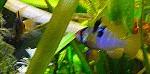 Schmetterlingsbuntbarsche