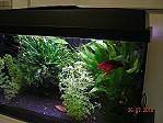 Aquarium mit Kampffischen