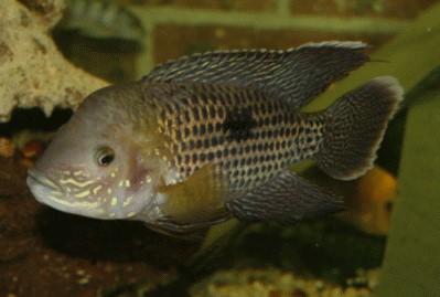 Fische buntbarsche amerika s damerikanische buntbarsche for Fadenfische zucht