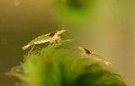 Junge Amanogarnele