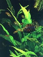 matitlania nigrofasciatus Männchen führt Junge