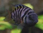 Amatitlania nigrofasciatus