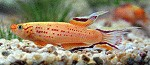 Aphyosemion australe f. gold Männchen