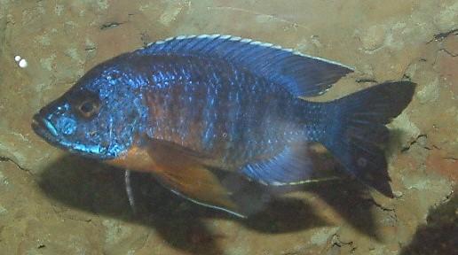 fische buntbarsche afrika afrikanische buntbarsche aulonocara arten aquarium ratgeber. Black Bedroom Furniture Sets. Home Design Ideas