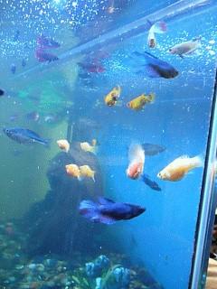 Fische kampffische kampffische eckdaten verhalten for Kampffische arten