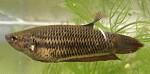 Kampffische Weibchen