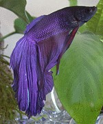 Betta splendens Männchen