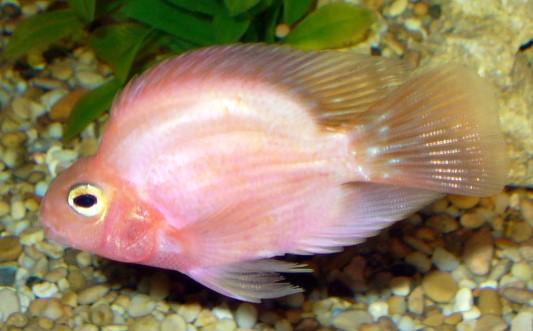 Fische sonstige papageienfische alle details und infos for Fadenfische zucht