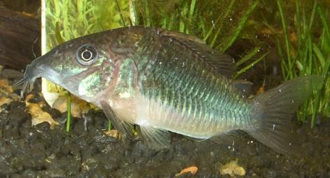 Fische panzerwelse arten brochissplendens aquarium for Fische arten