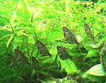 Marmorierte Beilbauchsalmler