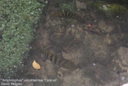 Fische buntbarsche amerika cichlasoma s dmarikanische for Fadenfische zucht