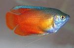 Neonblauer Zwergfadenfisch