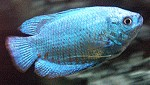 Zwergfadenfische blau
