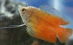 Zwergfadenfische rot