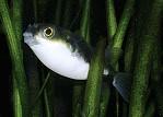 Assel-Kugelfisch - ca. 6 cm groß