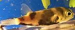 Assel-Kugelfisch