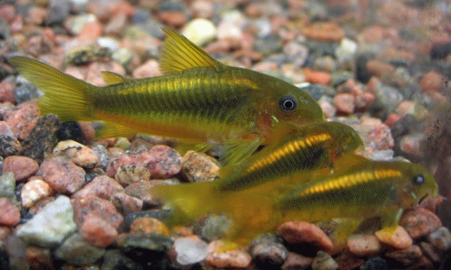 Fische panzerwelse panzerwelse haltung verhalten for Aquarium fische arten