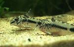 Corydoras habrosus Marmorierter Zwergpanzerwels